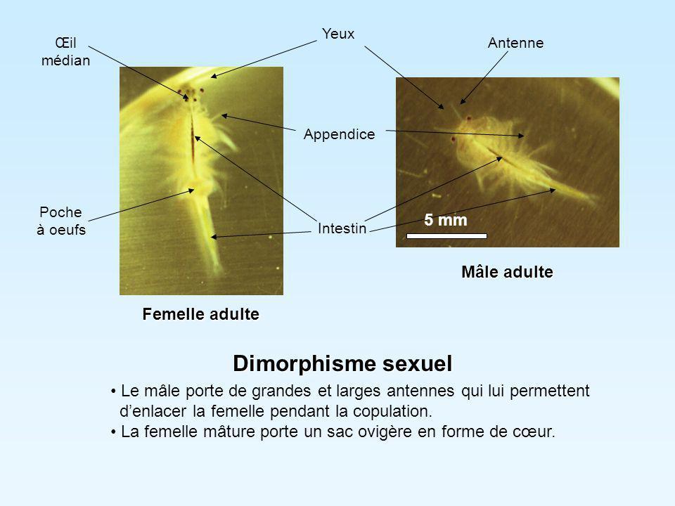 Nutrition L'artémia avale toutes particules de moins de 40 µm et en particulier des bactéries, des détritus, du phytoplancton microscopique.