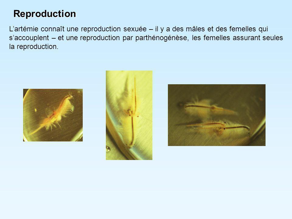Reproduction L'artémie connaît une reproduction sexuée – il y a des mâles et des femelles qui s'accouplent – et une reproduction par parthénogénèse, l