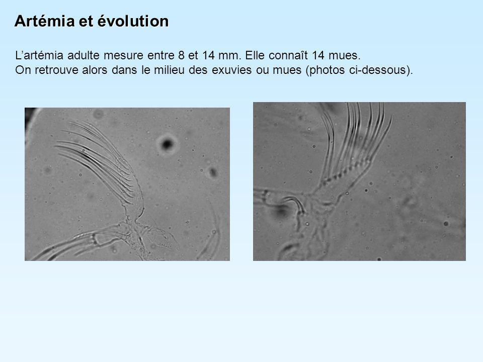 Artémia et évolution L'artémia adulte mesure entre 8 et 14 mm. Elle connaît 14 mues. On retrouve alors dans le milieu des exuvies ou mues (photos ci-d