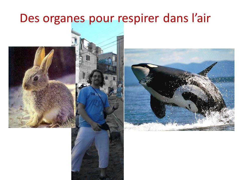 Quels organes permettent aux animaux de respirer dans l'air .