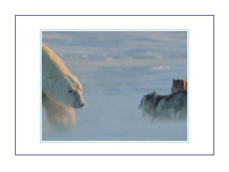 Le photographe était certain de voir la fin de ses chiens huskies lorsqu'un ours polaire est apparu de l'horizon bleuté : Curieusement c'était un ours