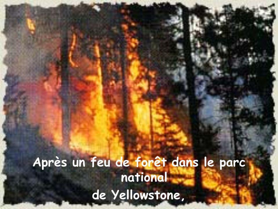 Après un feu de forêt dans le parc national de Yellowstone,
