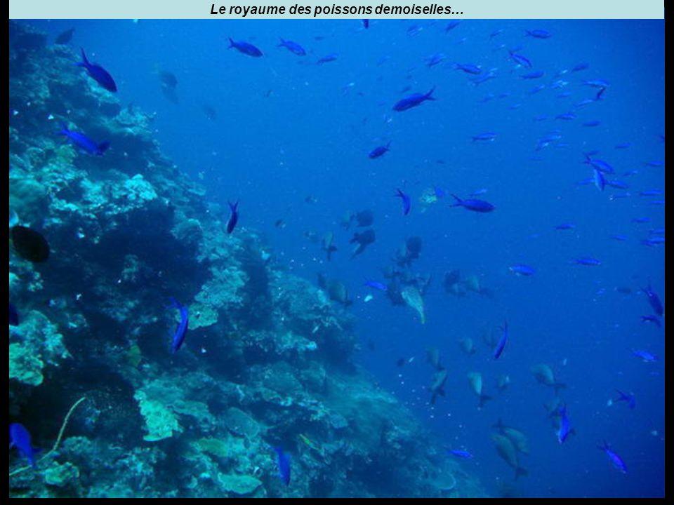 Le royaume des poissons demoiselles…
