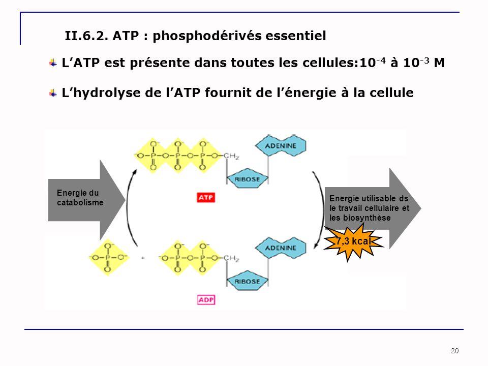 20 II.6.2. ATP : phosphodérivés essentiel Energie du catabolisme Energie utilisable ds le travail cellulaire et les biosynthèse L'hydrolyse de l'ATP f