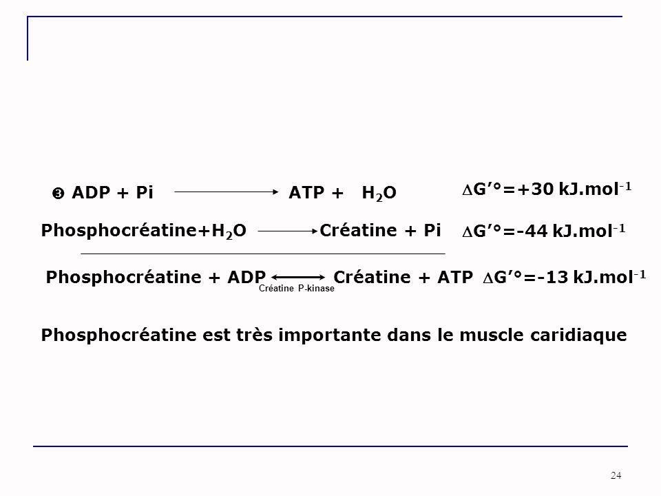 24  Phosphocréatine+H 2 O Créatine + Pi G'°=-44 kJ.mol -1 ADP + Pi ATP + H 2 O G'°=+30 kJ.mol -1 Phosphocréatine + ADP Créatine + ATP G'°=-13 kJ.mol -1 Créatine P-kinase Phosphocréatine est très importante dans le muscle caridiaque