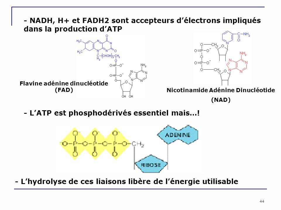 44 - NADH, H+ et FADH2 sont accepteurs d'électrons impliqués dans la production d'ATP Nicotinamide Adénine Dinucléotide (NAD) Flavine adénine dinucléotide (FAD) - L'ATP est phosphodérivés essentiel mais….