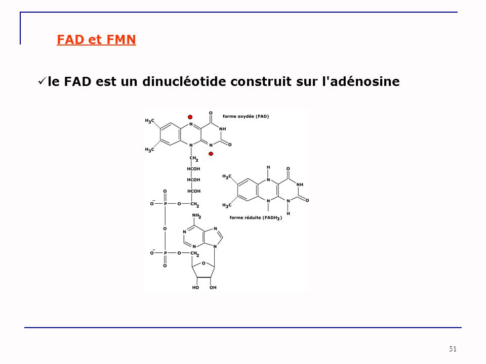 51 FAD et FMN le FAD est un dinucléotide construit sur l'adénosine
