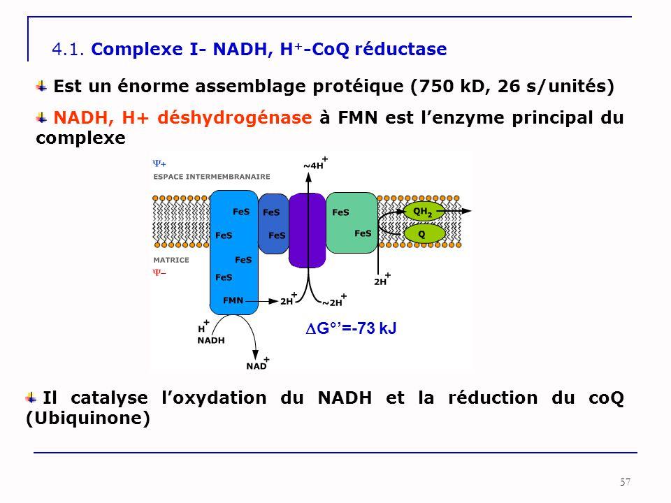 57 4.1. Complexe I- NADH, H + -CoQ réductase Est un énorme assemblage protéique (750 kD, 26 s/unités) Il catalyse l'oxydation du NADH et la réduction
