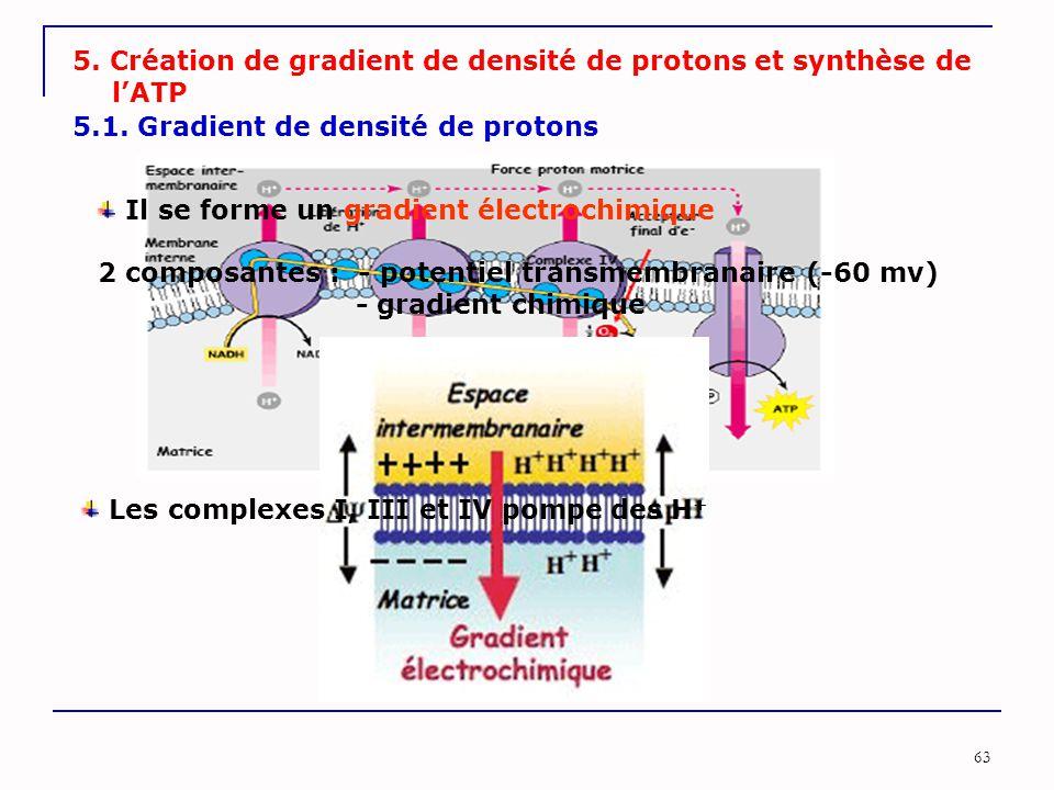 63 5. Création de gradient de densité de protons et synthèse de l'ATP 5.1. Gradient de densité de protons Les complexes I, III et IV pompe des H + Il