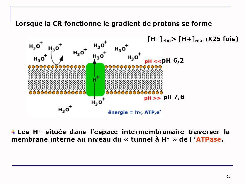 65 Lorsque la CR fonctionne le gradient de protons se forme Les H + situés dans l'espace intermembranaire traverser la membrane interne au niveau du « tunnel à H + » de l 'ATPase.