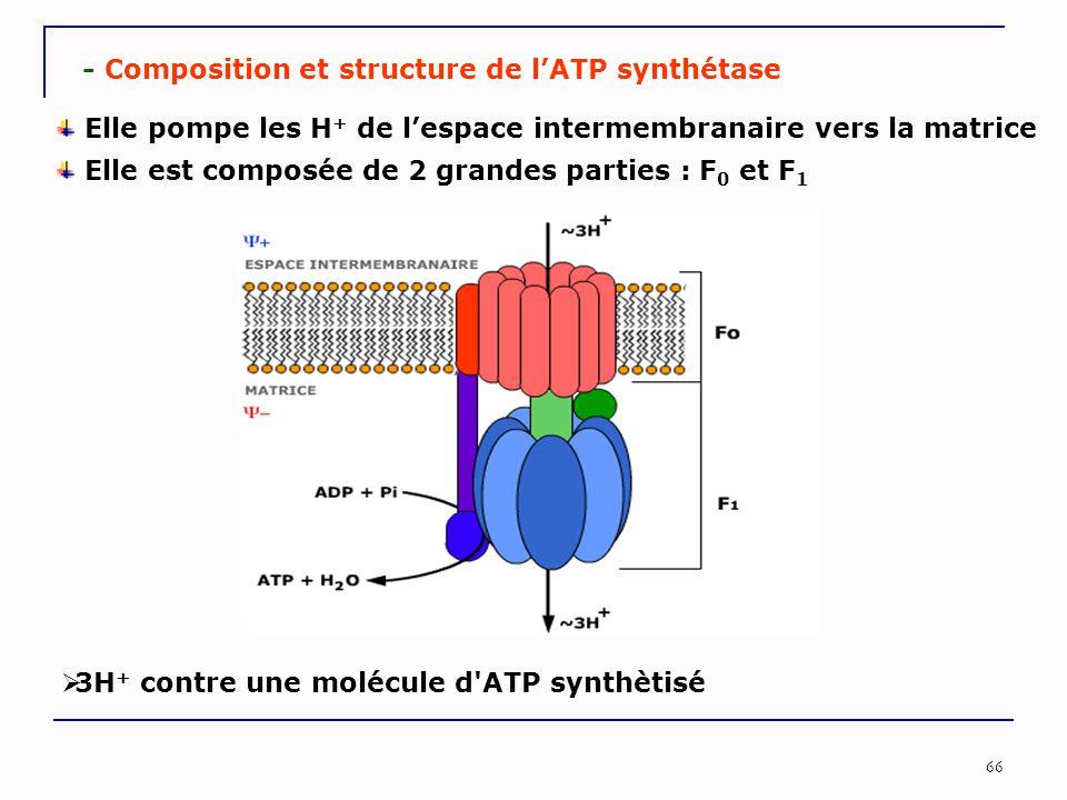 66 - Composition et structure de l'ATP synthétase Elle est composée de 2 grandes parties : F 0 et F 1 Elle pompe les H + de l'espace intermembranaire vers la matrice  3H + contre une molécule d ATP synthètisé