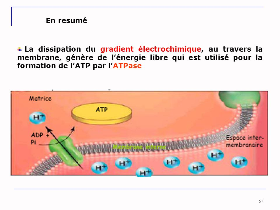 67 La dissipation du gradient électrochimique, au travers la membrane, génère de l'énergie libre qui est utilisé pour la formation de l'ATP par l'ATPa