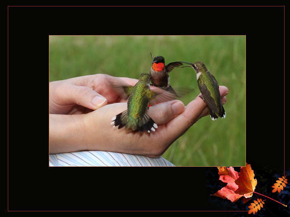 Au printemps, le chant plaintif de la nature qui s'éveille voit revenir tous les oiseaux mouches partis se réchauffer au soleil du sud.