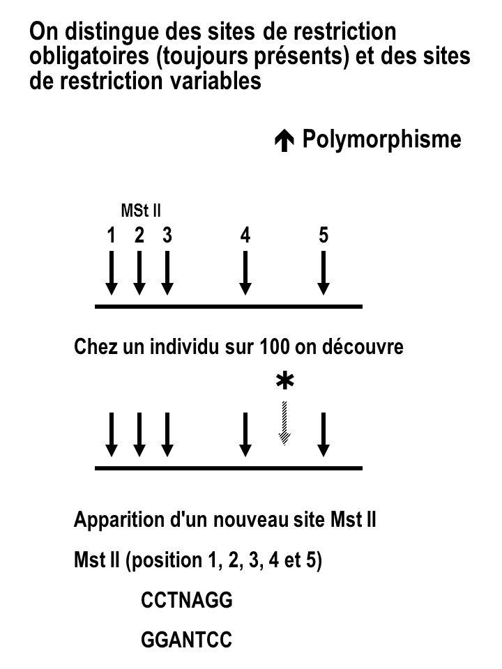 On distingue des sites de restriction obligatoires (toujours présents) et des sites de restriction variables  Polymorphisme 1 342 5 MSt II Chez un individu sur 100 on découvre Apparition d un nouveau site Mst II Mst II (position 1, 2, 3, 4 et 5) CCTNAGG GGANTCC 