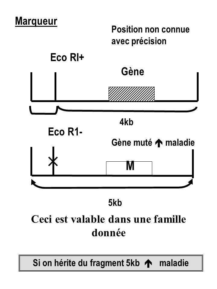 Marqueur Eco RI+ Gène Position non connue avec précision Eco R1- M Gène muté  maladie Si on hérite du fragment 5kb  maladie  5kb 4kb Ceci est valable dans une famille donnée