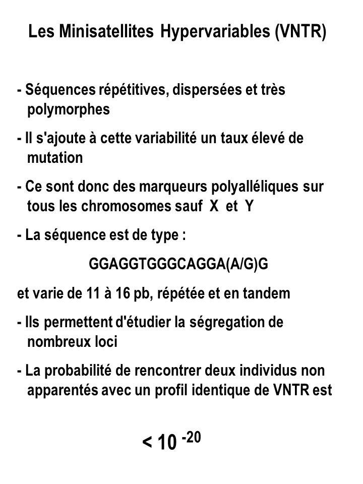 Les Minisatellites Hypervariables (VNTR) - Séquences répétitives, dispersées et très polymorphes - Il s ajoute à cette variabilité un taux élevé de mutation - Ce sont donc des marqueurs polyalléliques sur tous les chromosomes sauf X et Y - La séquence est de type : GGAGGTGGGCAGGA(A/G)G et varie de 11 à 16 pb, répétée et en tandem - Ils permettent d étudier la ségregation de nombreux loci - La probabilité de rencontrer deux individus non apparentés avec un profil identique de VNTR est < 10 -20