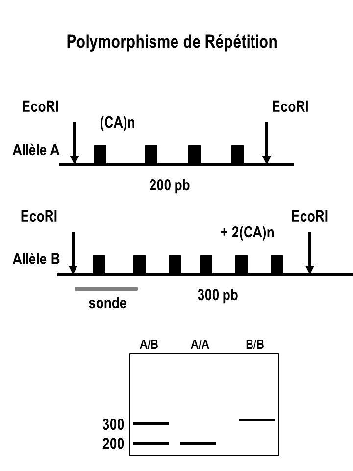 Polymorphisme de Répétition EcoRI 200 pb EcoRI 300 pb sonde 200 300 A/BA/AB/B (CA)n + 2(CA)n Allèle A Allèle B