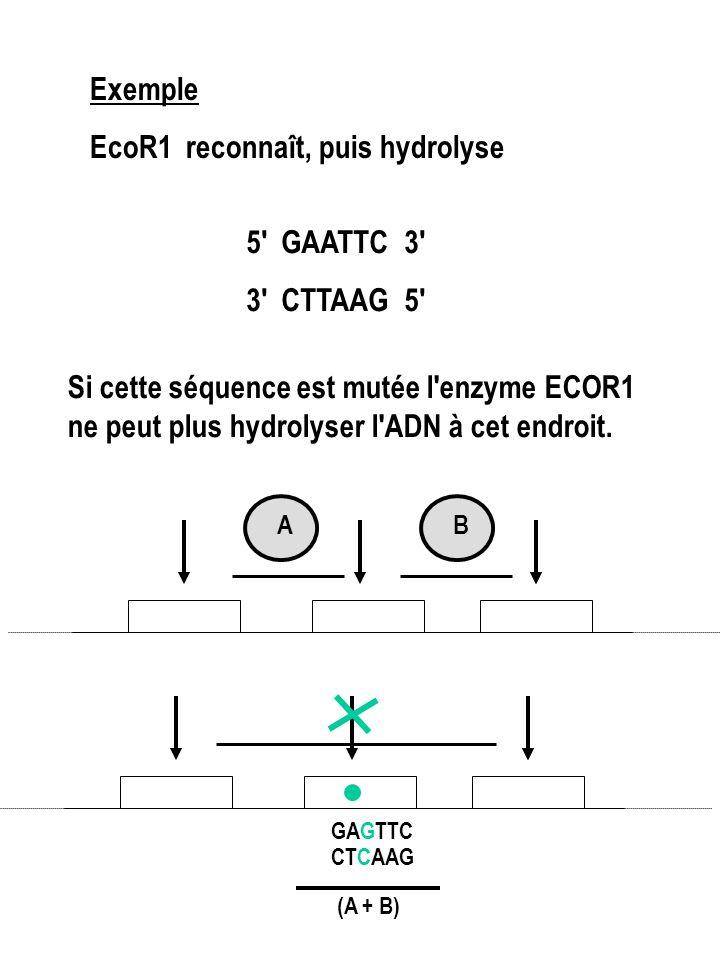 Exemple EcoR1 reconnaît, puis hydrolyse 5 GAATTC 3 3 CTTAAG 5 Si cette séquence est mutée l enzyme ECOR1 ne peut plus hydrolyser l ADN à cet endroit.