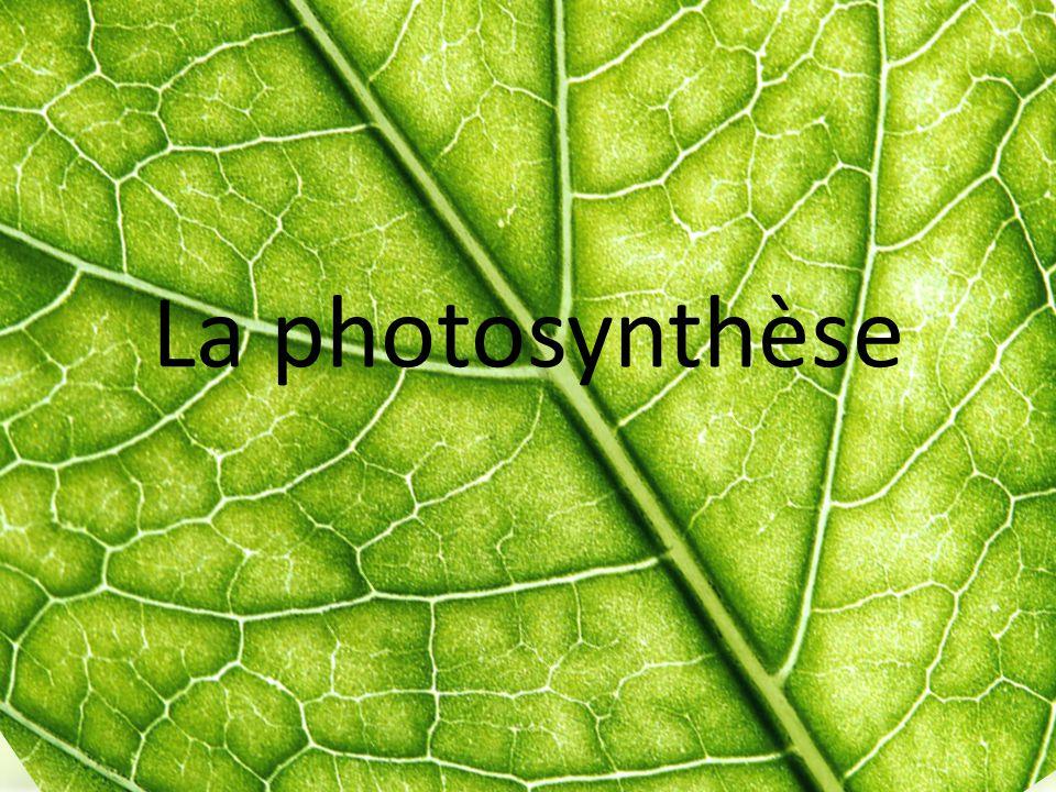 Étapes phase photo indépendante Réactifs : ATP + NADPH + H + + CO 2 Produits : C 6 H 12 O 6 (produit organique) Lieu : stroma ATP fournit l énergie, NADPH a le pouvoir réducteur (donne des électrons) nécessaire pour la transformation et l union du CO 2 pour former du glucose.