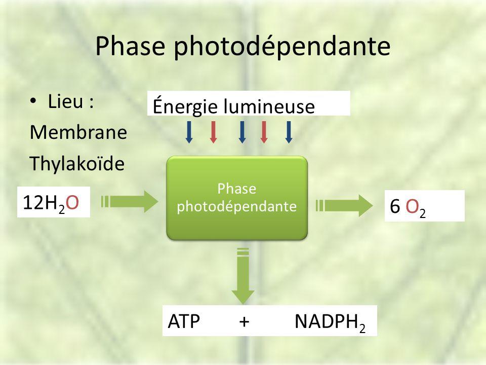 Phase photodépendante Lieu : Membrane Thylakoïde Phase photodépendante 6 O 2 12H 2 O Énergie lumineuse ATP + NADPH 2