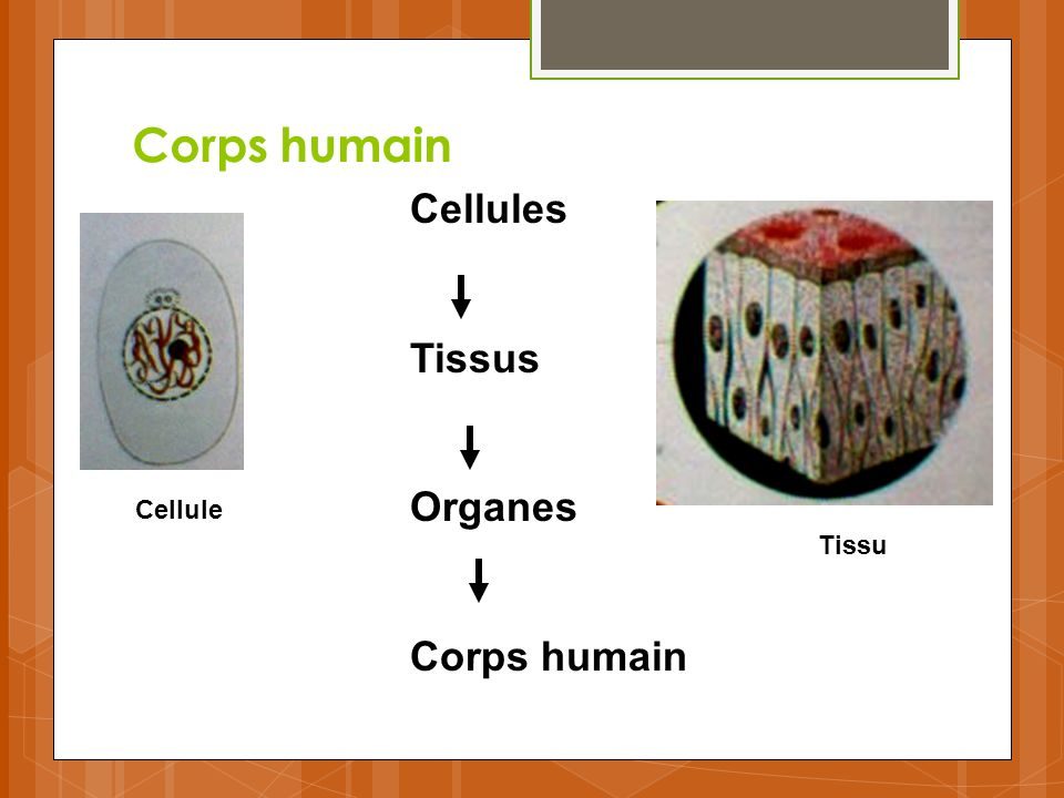 Corps humain Cellules Tissus Organes Corps humain Cellule Tissu