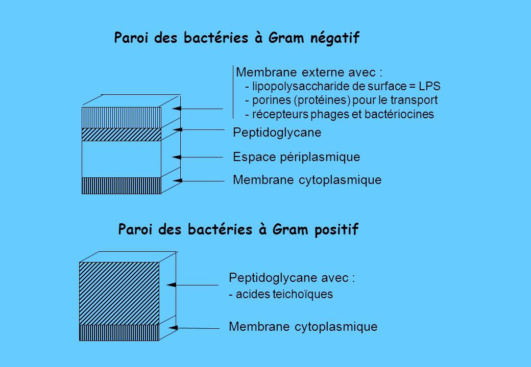 Paroi des bactéries à Gram négatif - lipopolysaccharide de surface = LPS - porines (protéines) pour le transport - récepteurs phages et bactériocines Peptidoglycane Espace périplasmique Membrane cytoplasmique Paroi des bactéries à Gram positif Membrane cytoplasmique Peptidoglycane avec : - acides teichoïques Membrane externe avec :