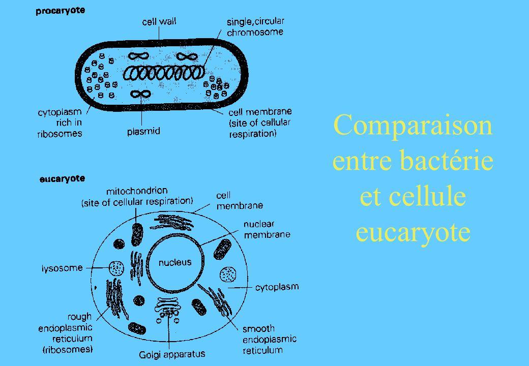 Comparaison entre bactérie et cellule eucaryote