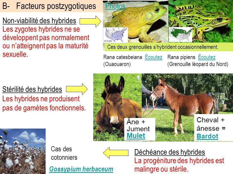 Non-viabilité des hybrides Les zygotes hybrides ne se développent pas normalement ou n'atteignent pas la maturité sexuelle. Stérilité des hybrides Les