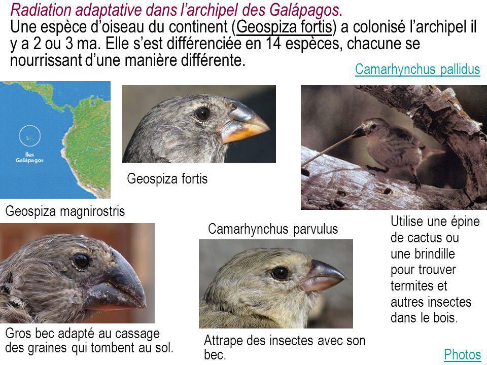 Radiation adaptative dans l'archipel des Galápagos. Une espèce d'oiseau du continent (Geospiza fortis) a colonisé l'archipel il y a 2 ou 3 ma. Elle s'