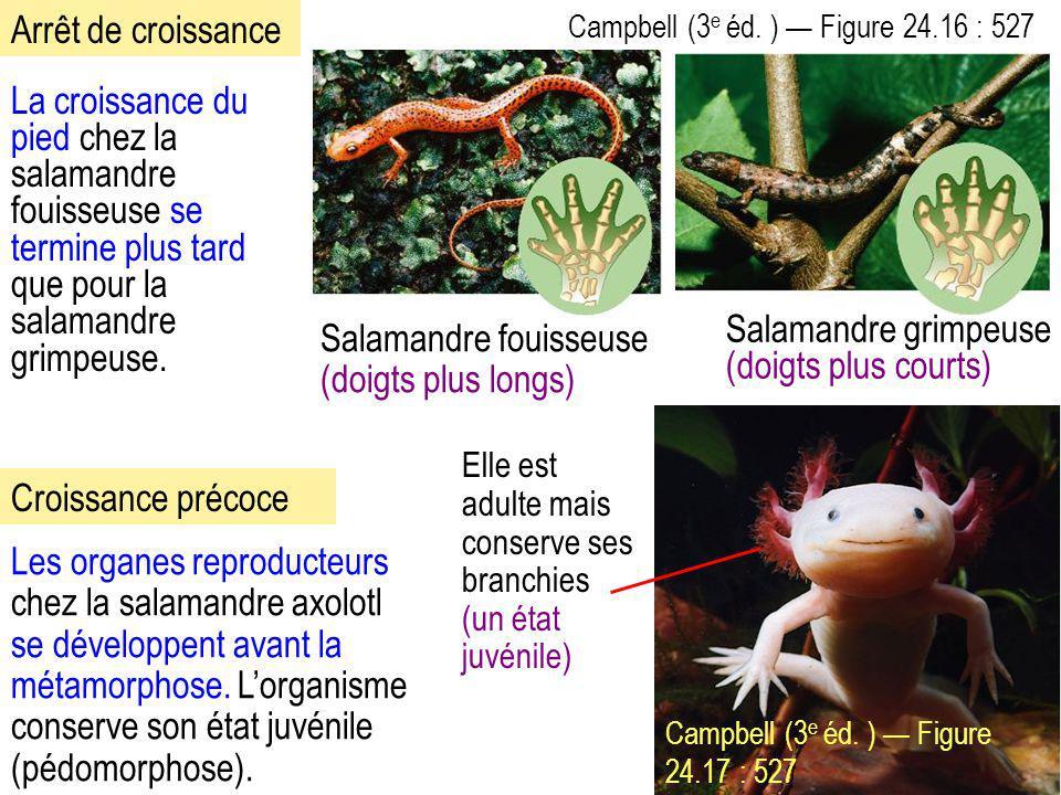 La croissance du pied chez la salamandre fouisseuse se termine plus tard que pour la salamandre grimpeuse. Campbell (3 e éd. ) — Figure 24.16 : 527 Le