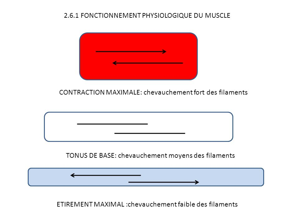 2.6.1 FONCTIONNEMENT PHYSIOLOGIQUE DU MUSCLE TONUS DE BASE: chevauchement moyens des filaments CONTRACTION MAXIMALE: chevauchement fort des filaments ETIREMENT MAXIMAL :chevauchement faible des filaments