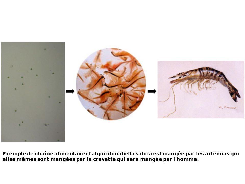 Exemple de chaîne alimentaire: l'algue dunaliella salina est mangée par les artémias qui elles mêmes sont mangées par la crevette qui sera mangée par l'homme.