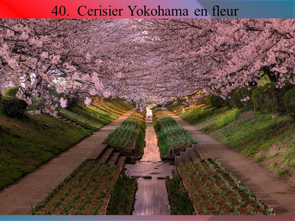 40. Cerisier Yokohama en fleur