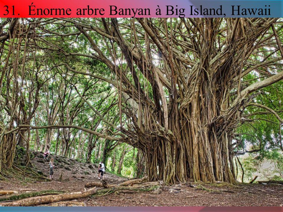 31. Énorme arbre Banyan à Big Island, Hawaii