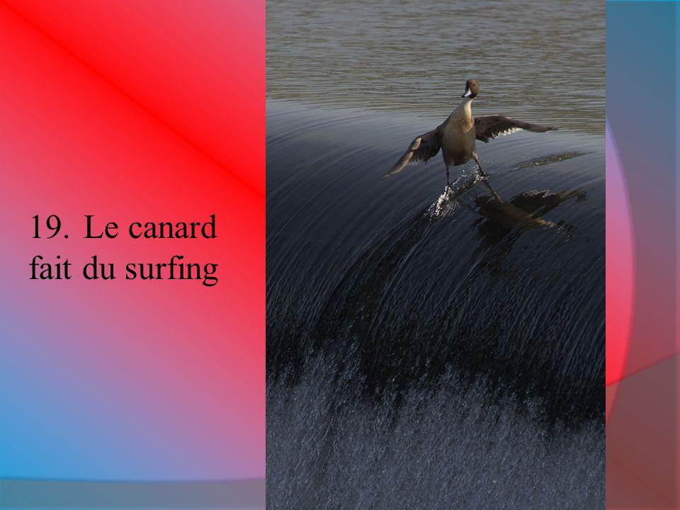 19.Le canard fait du surfing