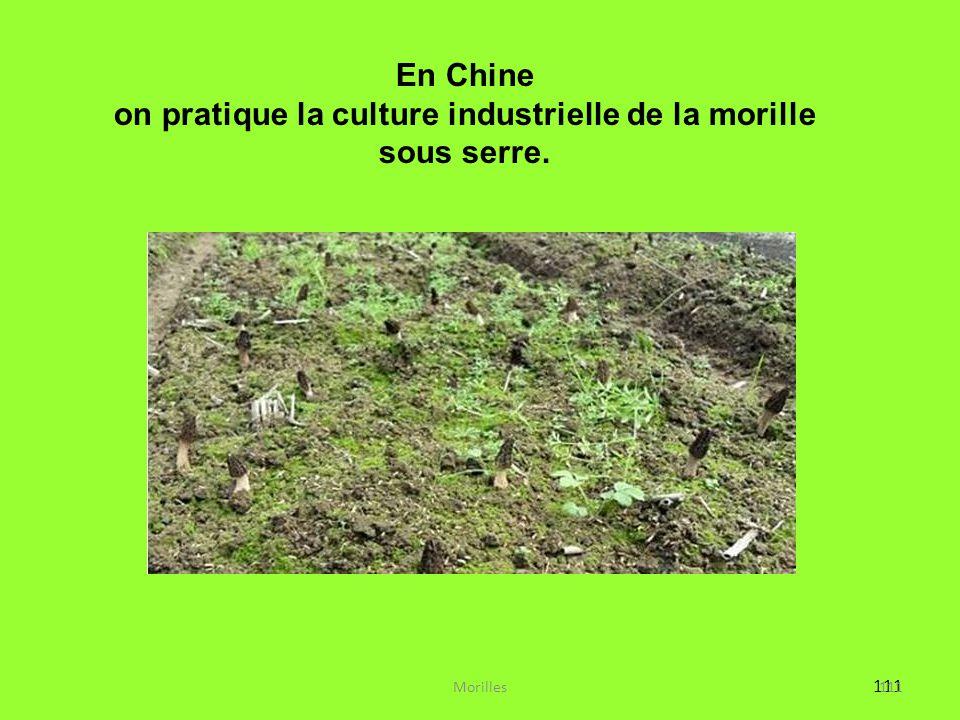 111 : En Chine on pratique la culture industrielle de la morille sous serre. 111Morilles