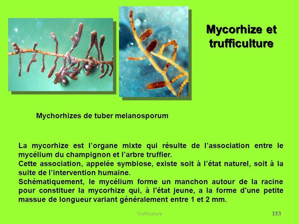 113 La mycorhize est l'organe mixte qui résulte de l'association entre le mycélium du champignon et l'arbre truffier. Cette association, appelée symbi