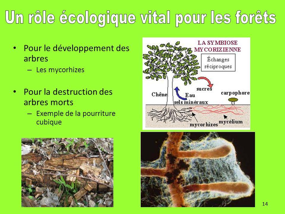 14 Pour le développement des arbres – Les mycorhizes Pour la destruction des arbres morts – Exemple de la pourriture cubique