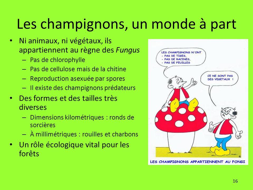 16 Les champignons, un monde à part Ni animaux, ni végétaux, ils appartiennent au règne des Fungus – Pas de chlorophylle – Pas de cellulose mais de la