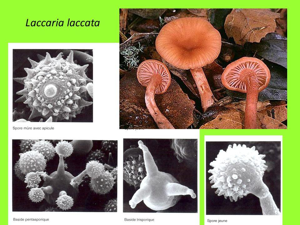 25 Laccaria laccata