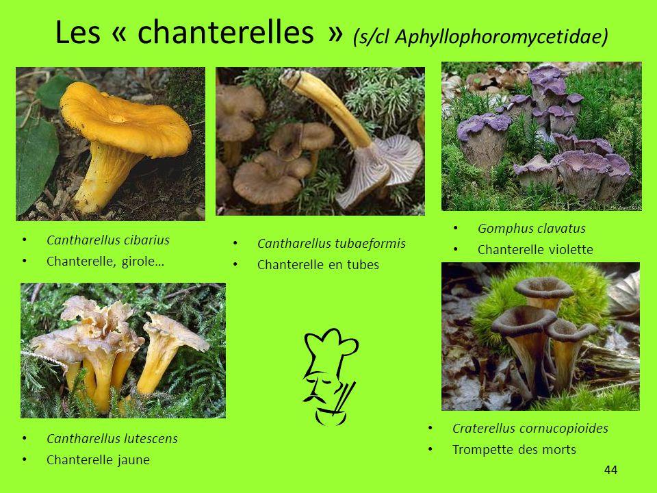 44 Les « chanterelles » (s/cl Aphyllophoromycetidae) Cantharellus cibarius Chanterelle, girole… Cantharellus lutescens Chanterelle jaune Craterellus c