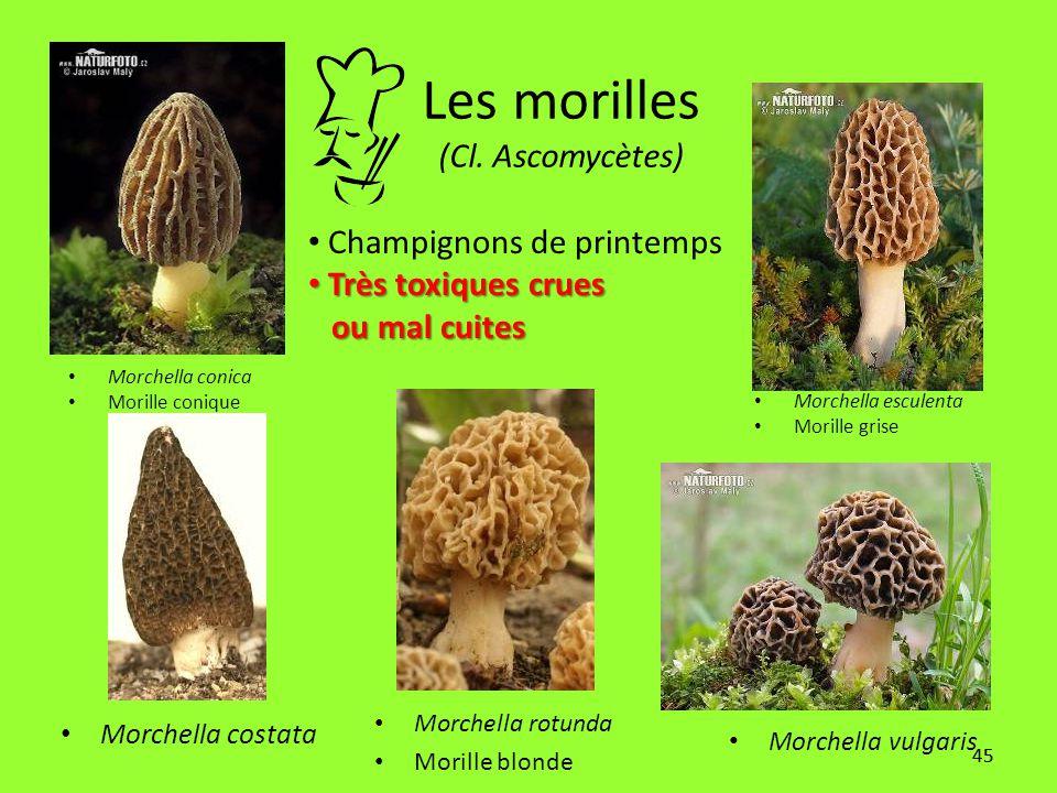 45 Les morilles (Cl. Ascomycètes) Morchella costata Morchella conica Morille conique Morchella esculenta Morille grise Morchella rotunda Morille blond