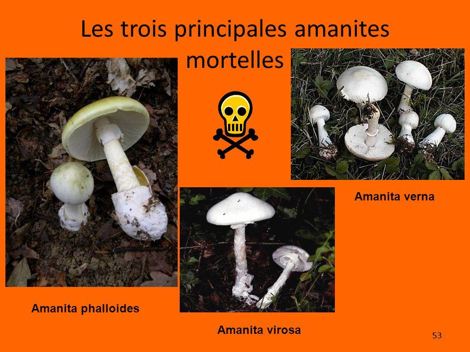 53 Les trois principales amanites mortelles Amanita phalloides Amanita verna Amanita virosa