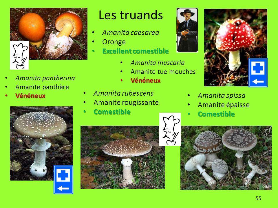 55 Les truands Amanita rubescens Amanite rougissante Comestible Comestible Amanita spissa Amanite épaisse Comestible Comestible Amanita pantherina Ama