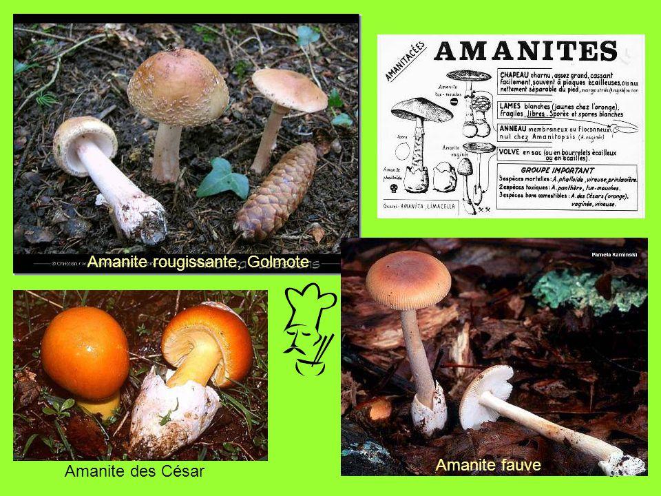 67 Amanite fauve Amanite rougissante, Golmote Amanite des César