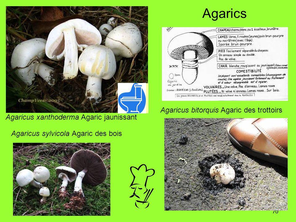 70 Agaricus xanthoderma Agaric jaunissant Agaricus bitorquis Agaric des trottoirs Agarics Agaricus sylvicola Agaric des bois