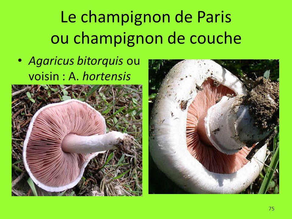75 Le champignon de Paris ou champignon de couche Agaricus bitorquis ou voisin : A. hortensis