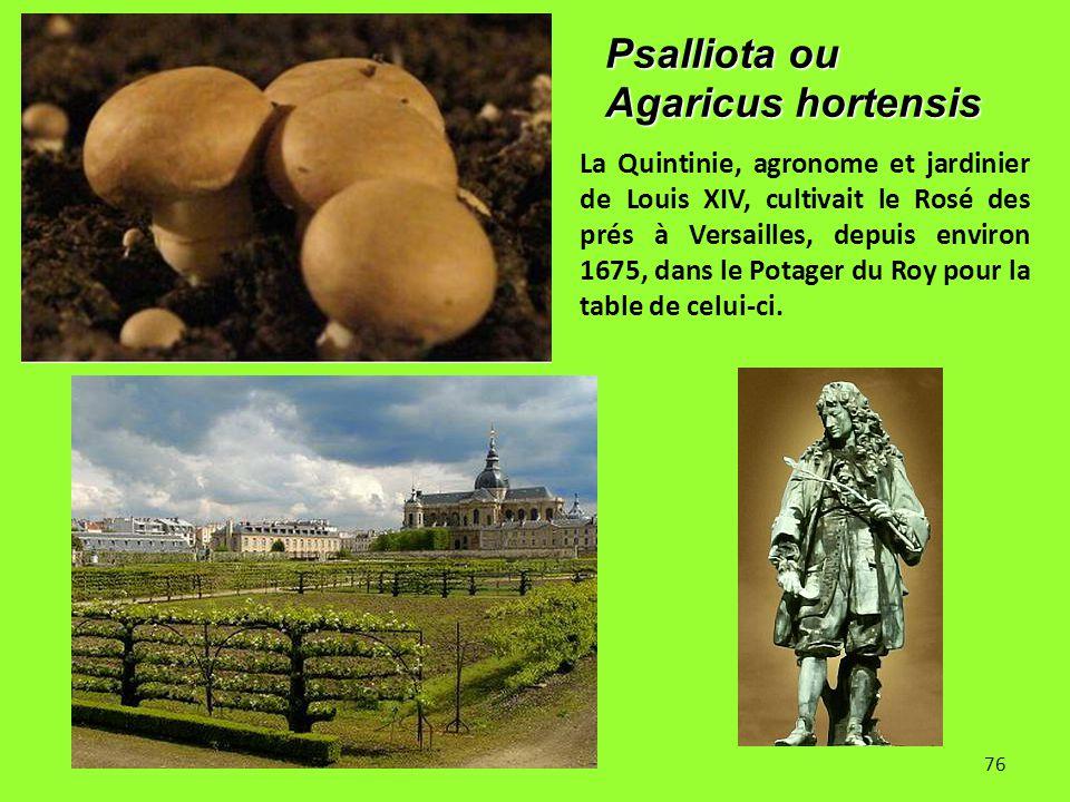 76 Psalliota ou Agaricus hortensis La Quintinie, agronome et jardinier de Louis XIV, cultivait le Rosé des prés à Versailles, depuis environ 1675, dan