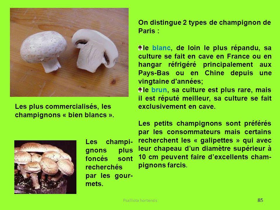 85 Les plus commercialisés, les champignons « bien blancs ». Les champi- gnons plus foncés sont recherchés par les gour- mets. On distingue 2 types de