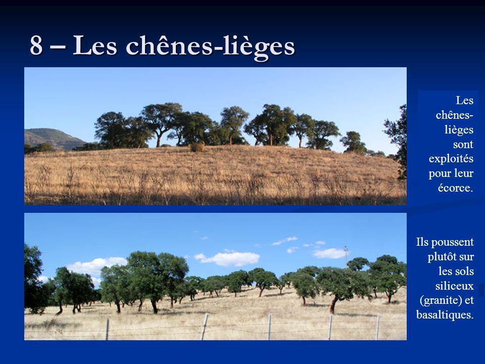 8 – Les chênes-lièges Ils poussent plutôt sur les sols siliceux (granite) et basaltiques. Les chênes- lièges sont exploités pour leur écorce.